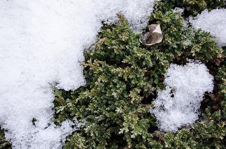 small bush covered in winter snow