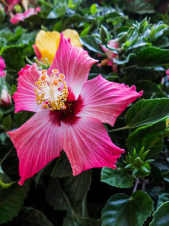 One hibiscus flower among green leaves Stok Fotoğraf