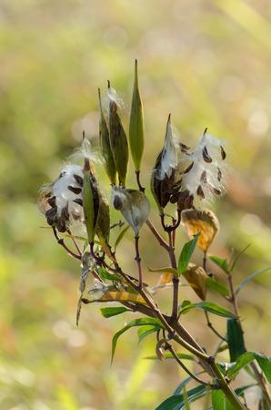 seeds from a wild flower burst open Stock fotó