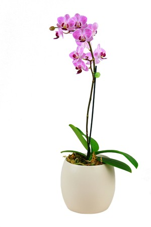 pink orchid:  Pink orchid on white background
