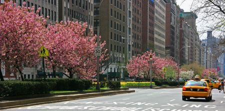 Rosa blühende Bäume im Park Avenue, Manhattan