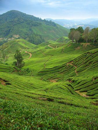Tee-Plantagen in Cameron Highlands, Malaysia, vertikale
