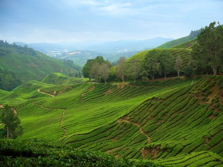 Tea plantations in Cameron Highlands, Malaysia Stock Photo - 1335176