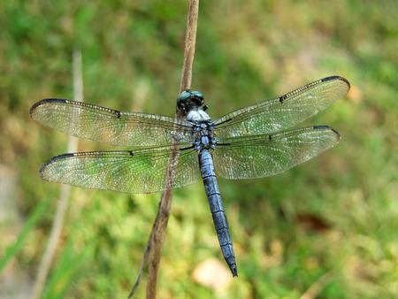 Close-up eines Dragon Fly auf einem Zweig