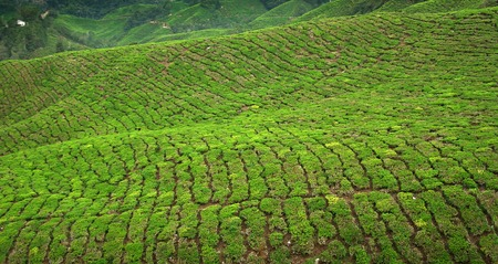 Declining tea plantations in Cameron Highlands, Malaysia Stock Photo