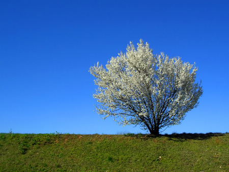 uncluttered: Isolated white blossoming cherry tree in a spring afternoon, horizontal, uncluttered view Stock Photo
