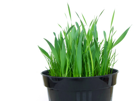 catnip: Black plastic vase of fresh indoor grass for cats, isolated on white, cropped on bottom Stock Photo