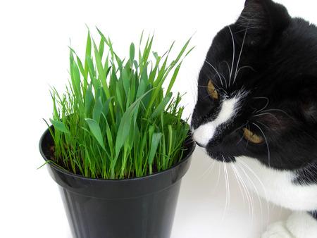 nepeta cataria: Lo sniffing gatto e sgranocchiare un vaso di catnip fresche, isolata on white
