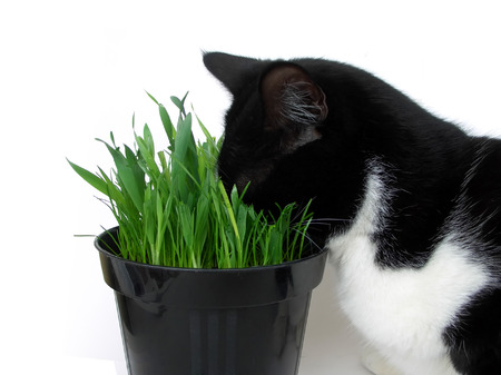 catnip: Addicted cat plunging its head in a vase of fresh catnip, isolated on white Stock Photo