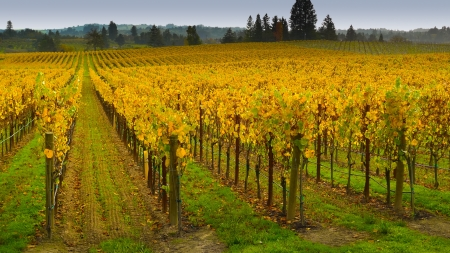 sonoma: Vineyard in autumn, Napa Valley, California Stock Photo
