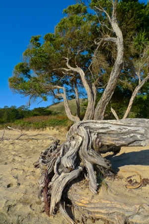 california coast: Convoluted tree roots in Stinson beach, San Francisco, California, USA