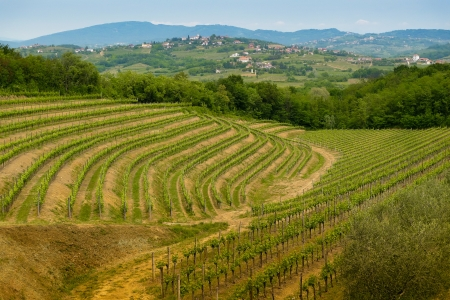 Vineyards on the hills in Collio area near Cormons, in the wine region of Friuli, Italy photo