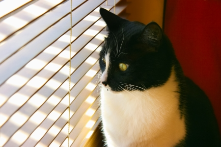 venetian blind: Curious cat sitting by a window looking through venetian blinds on a sunny day