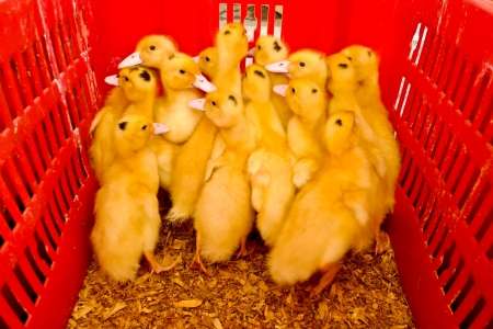 Several ducklings in a red plastic basket photo