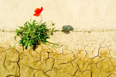 cracked earth: Poppy flower surviving in a dry cracking soil