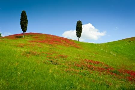 Zwei Zypressen auf einem Hügel bedeckt mit roten Blumen an einem sonnigen Tag in der Nähe Certaldo, Toskana, Italien