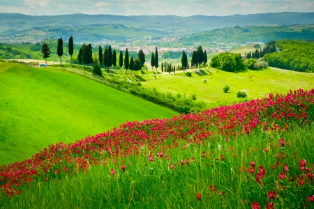 italian landscape: Hill covered by red flowers overlooking a road lined by cypresses on a sunny day near Certaldo, Tuscany, Italy