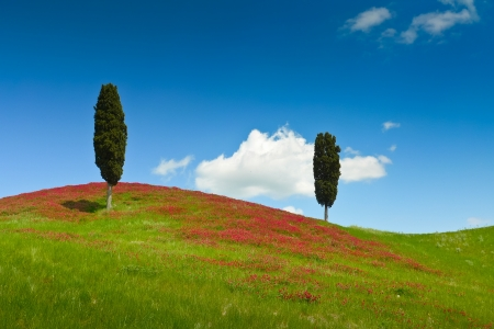 Two cypresses on a hill covered by red flowers on a sunny day near Certaldo, Tuscany, Italy Stock Photo - 17337694