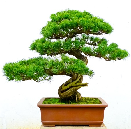 bonsai: Bonsai pine tree against a white wall
