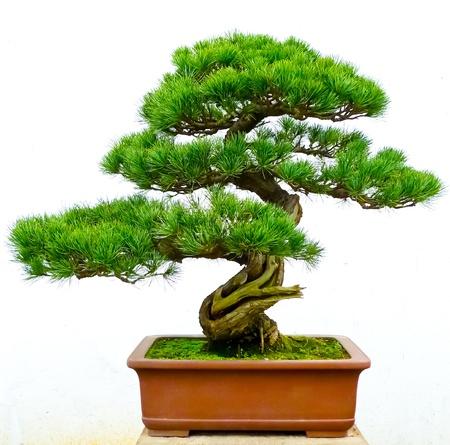 bonsai tree: Bonsai pine tree against a white wall