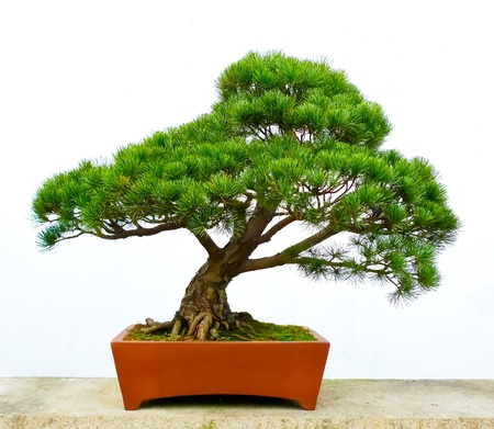 Bonsai pine tree against a white wall photo