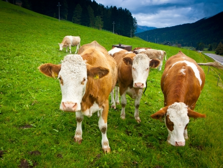 Ayrshire Kühen bei Bruneck, Trentino Alto Adige, Italien