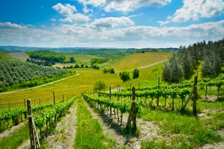 olive farm: Hills covered by vineyards and olive trees on a sunny day near Certaldo, Tuscany, Italy