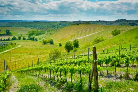 toscana: Hills covered by vineyards on a sunny day near Certaldo, Tuscany, Italy
