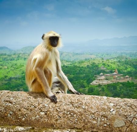 gray langur: Hanuman langur (Semnopithecus entellus) on Kumbhalgarh fort ramparts, Rajasthan, India Stock Photo