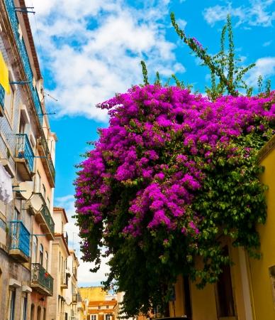 bougainvillea: Gorgeous bouganville in Bairro Alto, Lisbon, Portugal Stock Photo