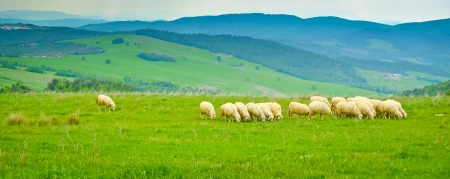 volterra: Grazing sheep on the hills surrounding Volterra, Tuscany, Italy