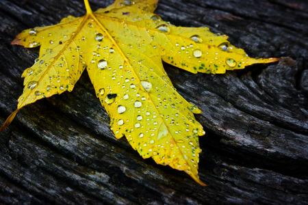 Einzelne gelbe Ahornblatt auf alten dunklen rohes Holz