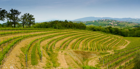 Vineyards on the hills in Collio area near Cormons, in the wine region of Friuli, Italy