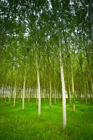 White poplars cultivation in Collio area near Cormons, in the wine region of Friuli, Italy Standard-Bild