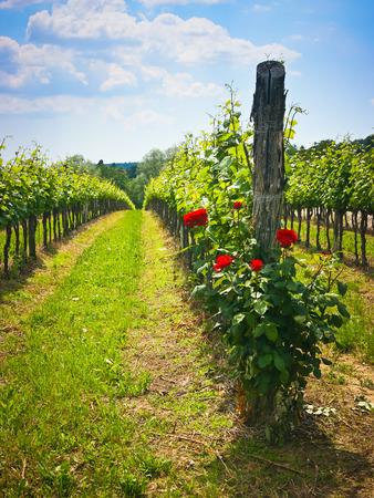 Bush der Rosen in einem Weinberg gepflanzt Pflanzen Gesundheit zu überwachen. Colli Orientali, Friaul, Italien Lizenzfreie Bilder
