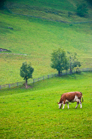 Italian red pied cow grazing in a pasture in Valle Aurina, Brunico, Trentino Alto Adige, Italy