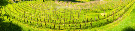 Wide panoramic view of a curving vineyard creating a sort of amphitheater near Buttrio, Udine, Friuli, Italy Stock Photo