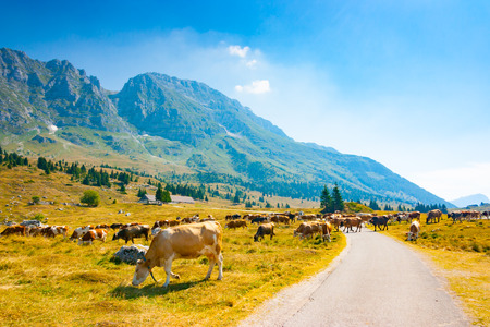 Cows grazing in the pastures alongside the road of Montasio Plateau in Julian Alps during the summer, Sella Nevea, Friuli, Italy 版權商用圖片 - 111208531