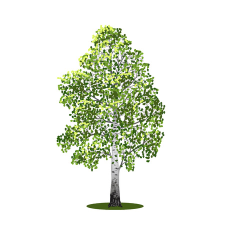 birch: detached tree birch with leaves on a white background Illustration