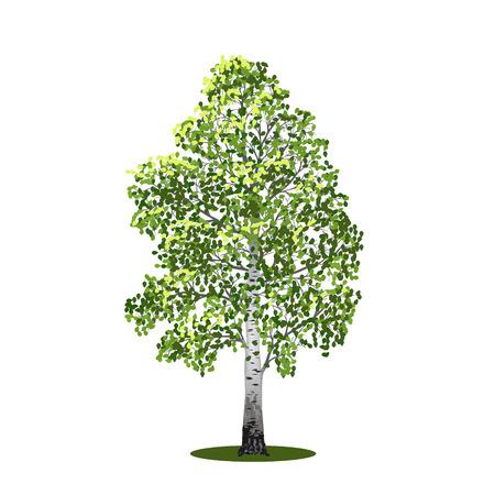 vrijstaande boom berk met bladeren op een witte achtergrond Stock Illustratie