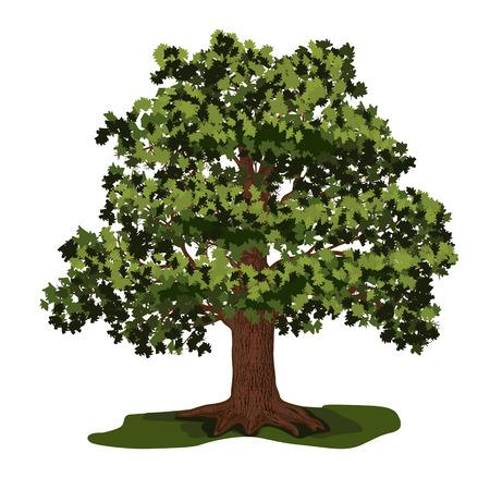 白い背景の上の緑の葉でオークの木