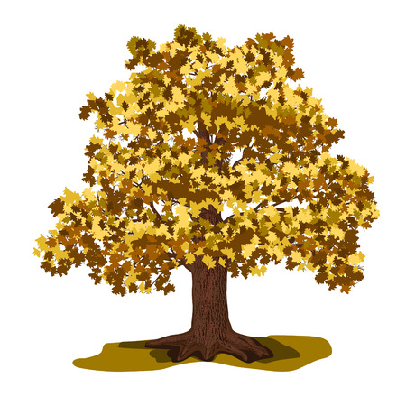 roble arbol: árbol de roble con las hojas amarillas sobre un fondo blanco Vectores