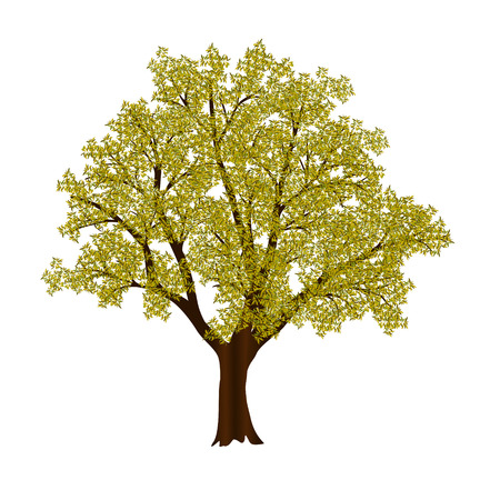 beech: autumn tree with yellow leaves on a white background