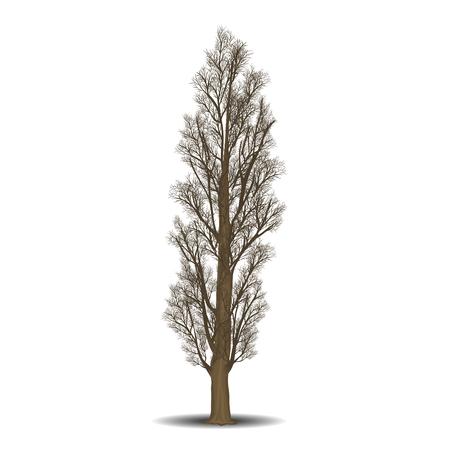 unifamiliar árbol de álamo sin las hojas sobre un fondo blanco