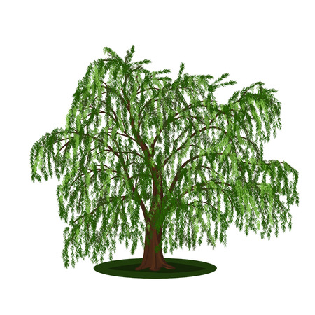 full willow: detached tree willow with leaves on a white background Illustration