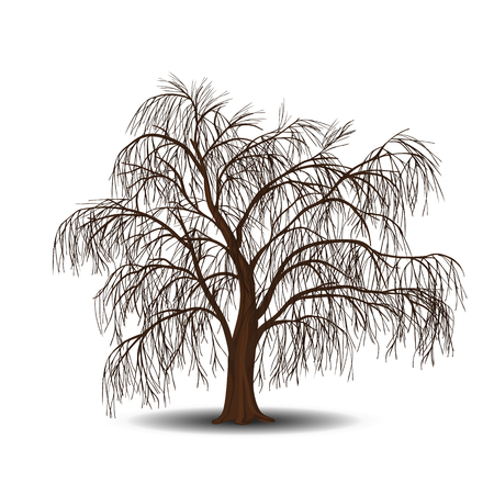 full willow: detached tree willow without leaves on a white background