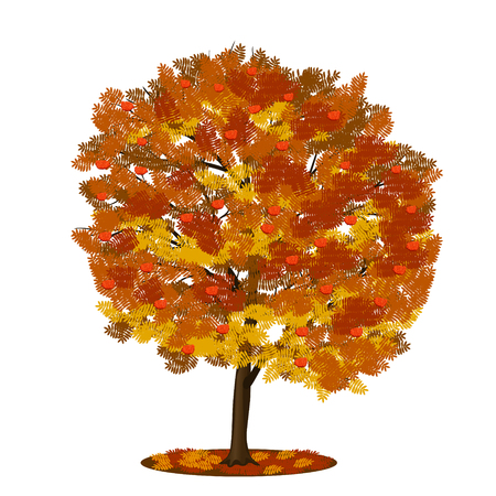 rowan tree: detached tree rowan with red and yellow leaves on a white background