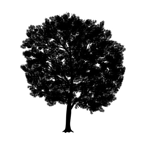 rowan tree: silhouette detached tree rowan with leaves on a white background