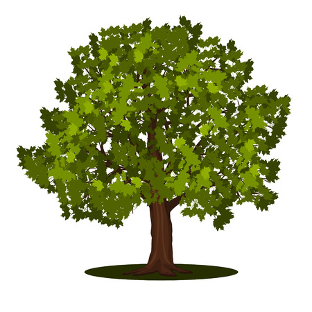 detached tree maple with leaves on a white background