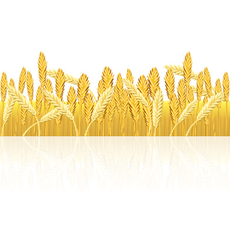 field with yellow wheat and reflection on a white background